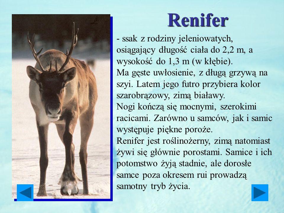Renifer - ssak z rodziny jeleniowatych, osiągający długość ciała do 2,2 m, a wysokość do 1,3 m (w kłębie).