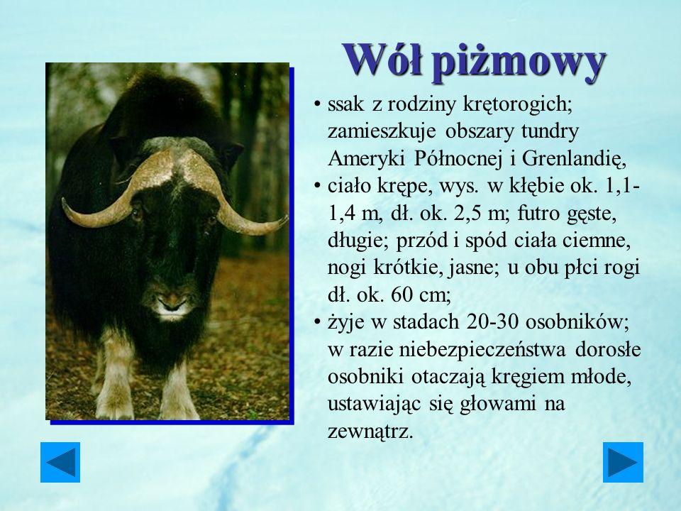 Wół piżmowy ssak z rodziny krętorogich; zamieszkuje obszary tundry Ameryki Północnej i Grenlandię,