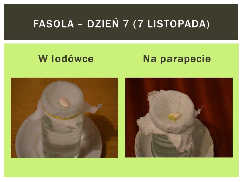 Fasola – dzień 7 (7 listopada)