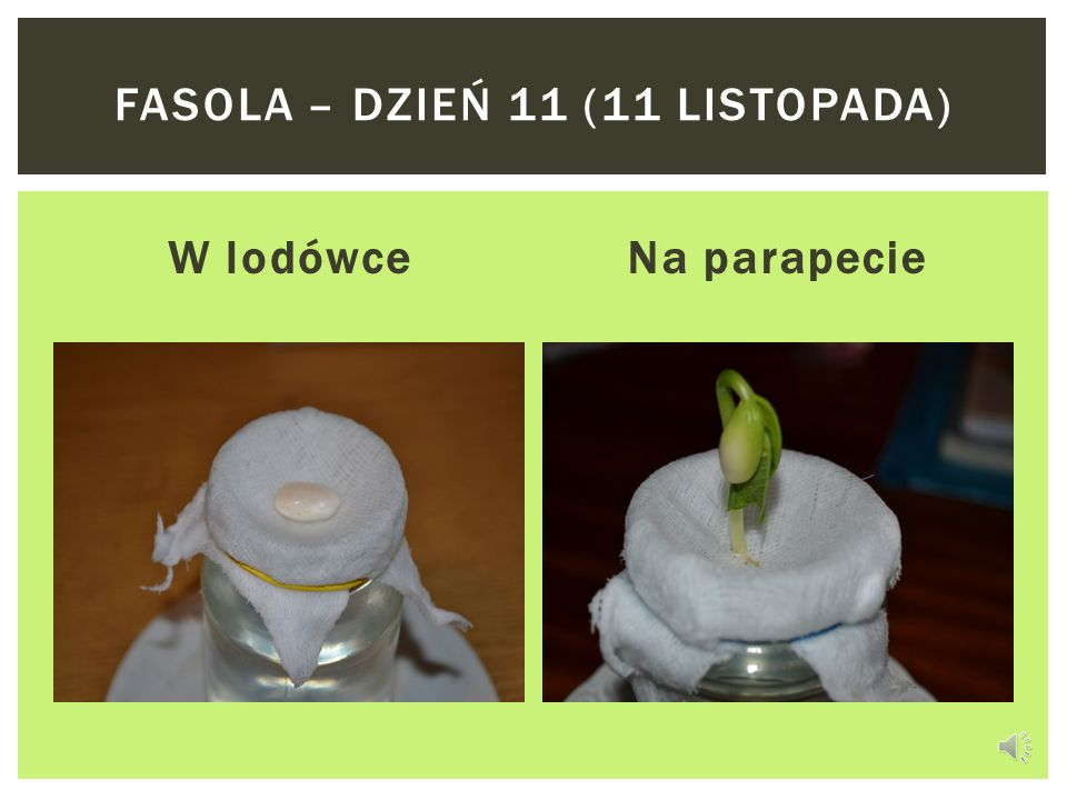 Fasola – dzień 11 (11 listopada)