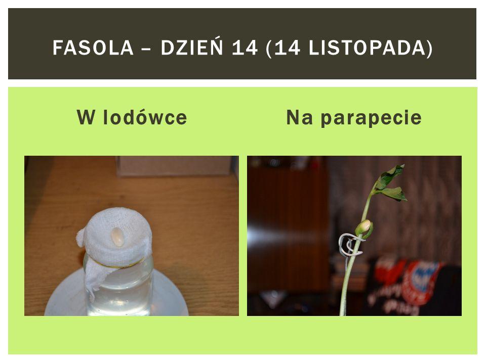 Fasola – dzień 14 (14 listopada)