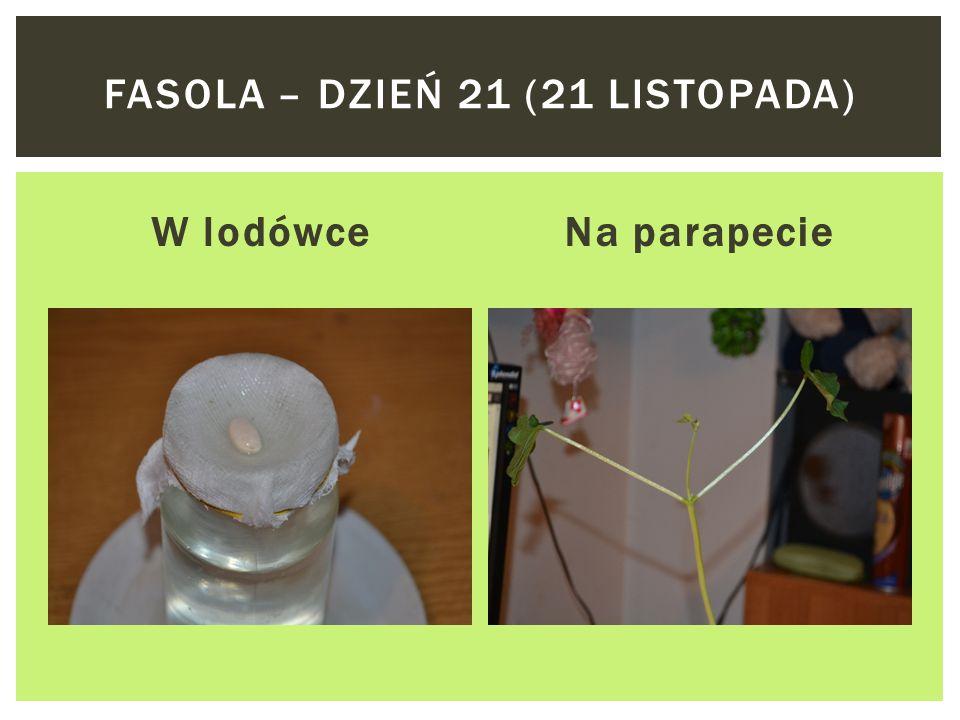 Fasola – dzień 21 (21 listopada)