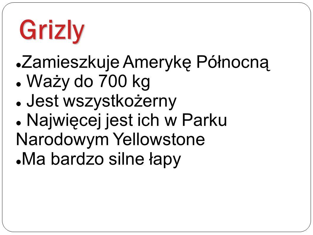 Grizly Zamieszkuje Amerykę Północną Waży do 700 kg Jest wszystkożerny