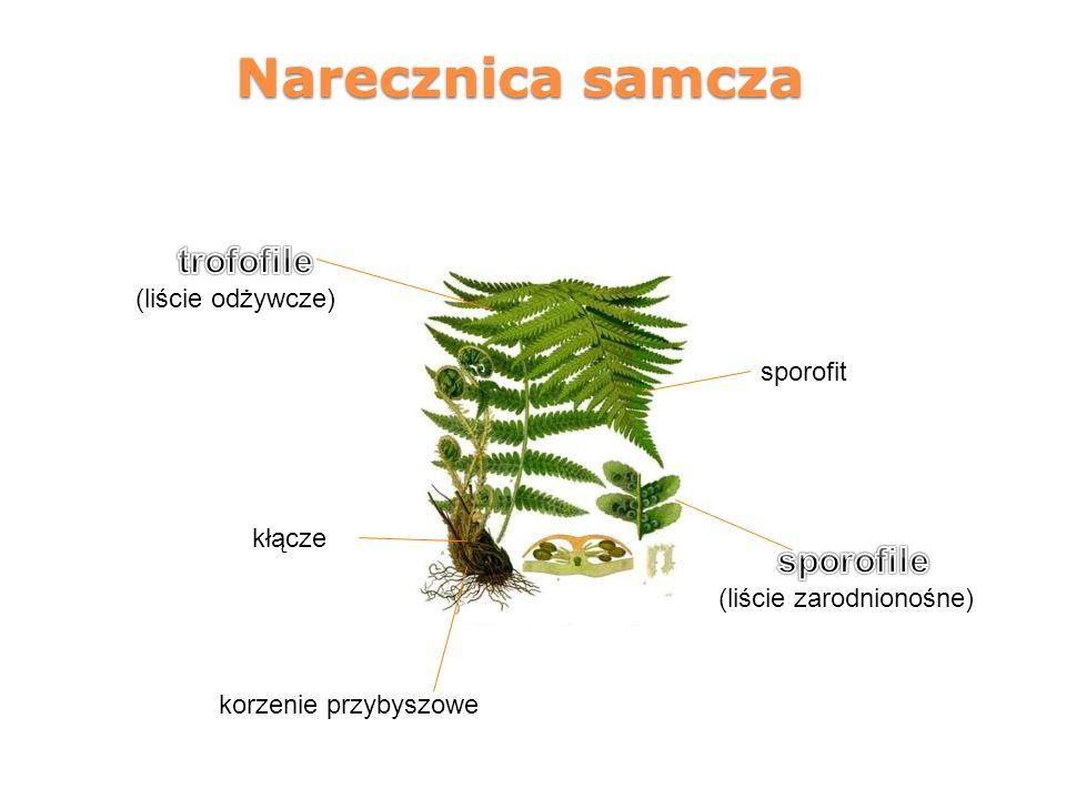 Narecznica samcza trofofile sporofile (liście odżywcze) sporofit