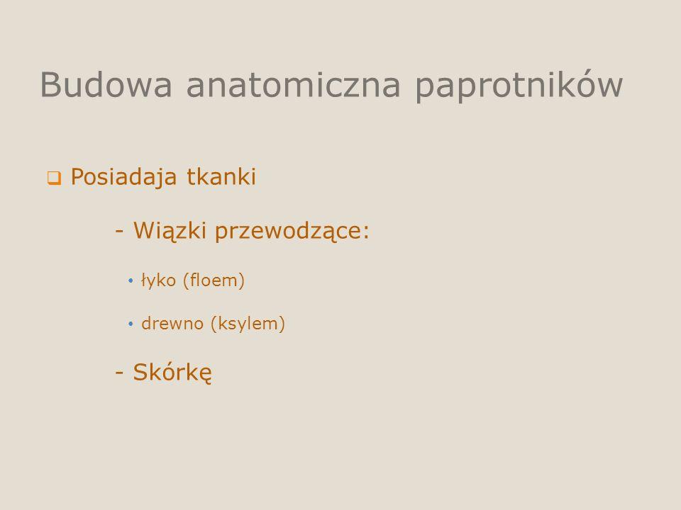 Budowa anatomiczna paprotników