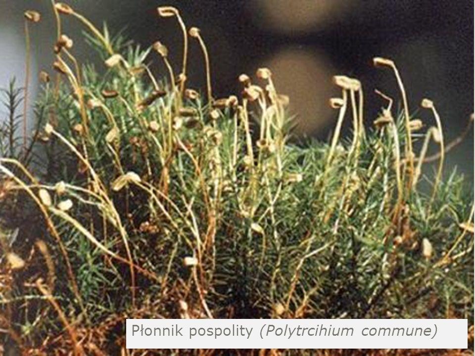 Płonnik pospolity (Polytrcihium commune)
