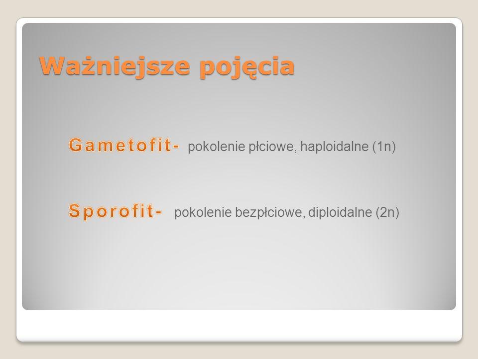 Ważniejsze pojęcia Gametofit- pokolenie płciowe, haploidalne (1n)