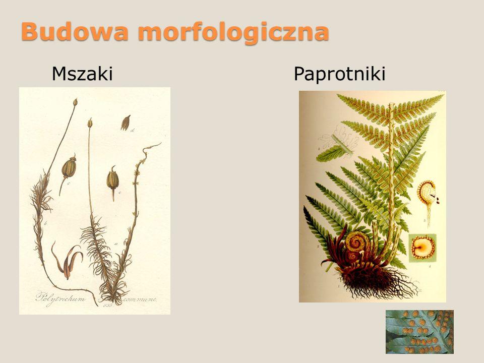 Budowa morfologiczna Mszaki Paprotniki