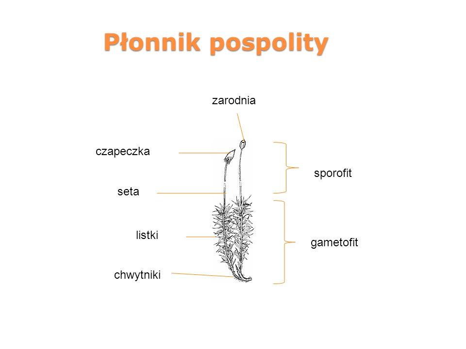 Płonnik pospolity zarodnia czapeczka sporofit seta listki gametofit