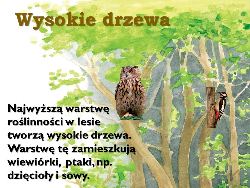 Wysokie drzewa Najwyższą warstwę roślinności w lesie tworzą wysokie drzewa.