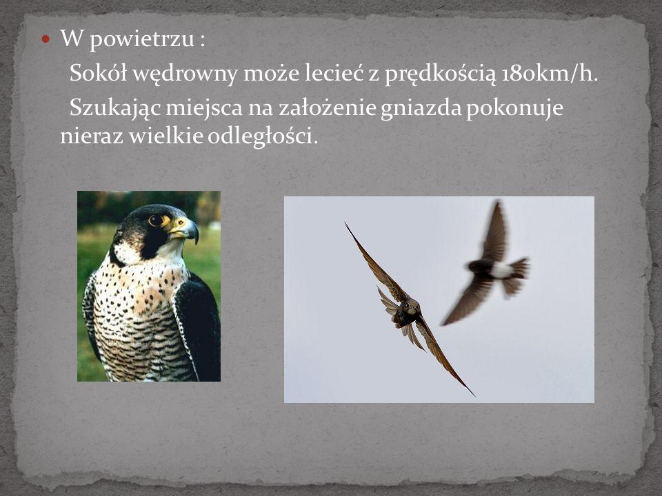 W powietrzu :Sokół wędrowny może lecieć z prędkością 180km/h.