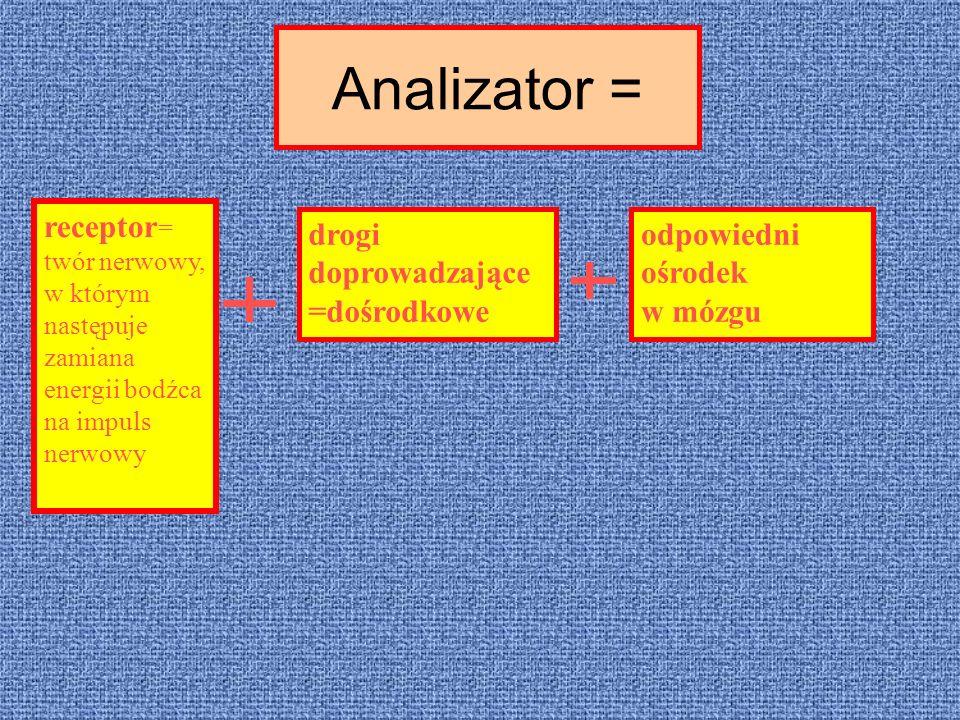 Analizator = receptor= twór nerwowy, w którym następuje zamiana energii bodźca na impuls nerwowy.