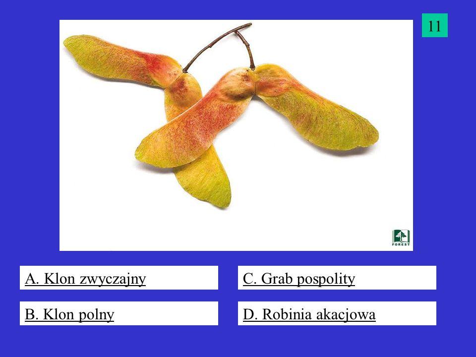 11 A. Klon zwyczajny C. Grab pospolity B. Klon polny D. Robinia akacjowa
