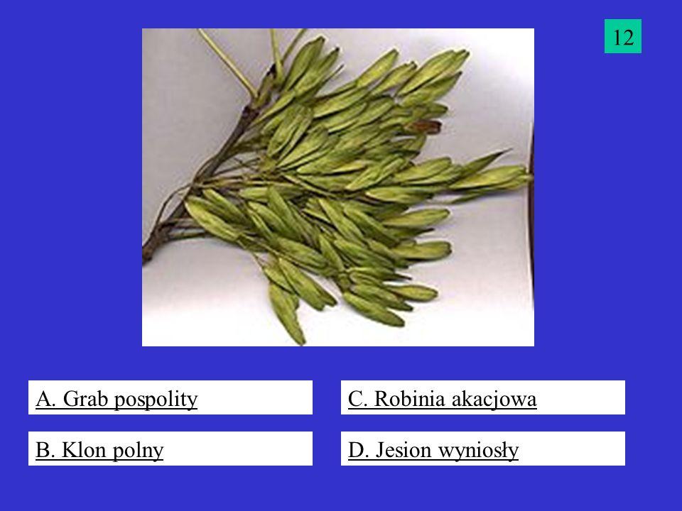 12 A. Grab pospolity C. Robinia akacjowa B. Klon polny D. Jesion wyniosły