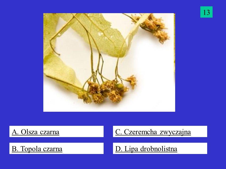 13 A. Olsza czarna C. Czeremcha zwyczajna B. Topola czarna D. Lipa drobnolistna