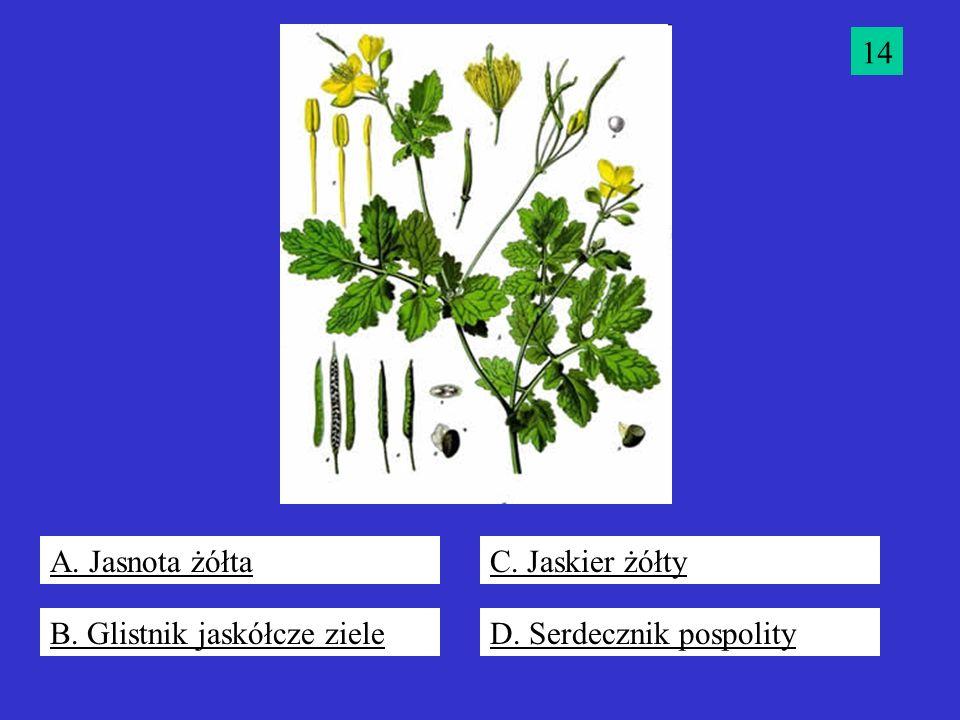 14 A. Jasnota żółta C. Jaskier żółty B. Glistnik jaskółcze ziele D. Serdecznik pospolity