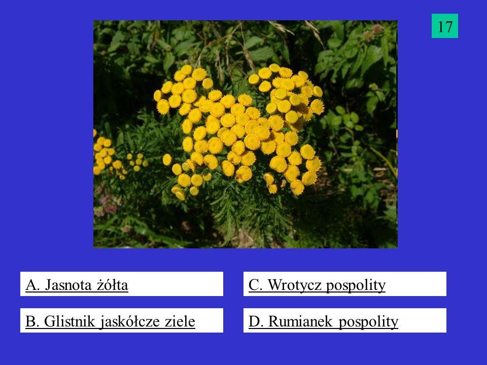 17 A. Jasnota żółta C. Wrotycz pospolity B. Glistnik jaskółcze ziele D. Rumianek pospolity