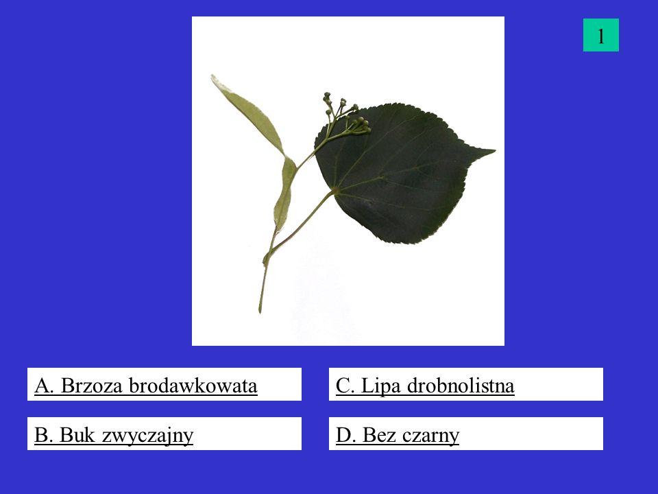 1 A. Brzoza brodawkowata C. Lipa drobnolistna B. Buk zwyczajny D. Bez czarny