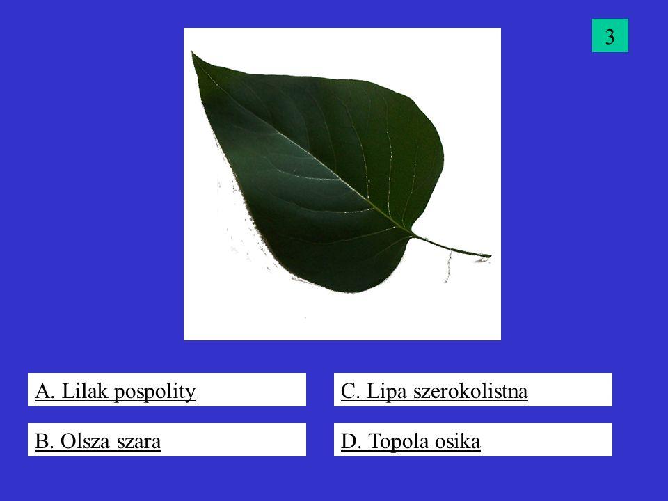 3 A. Lilak pospolity C. Lipa szerokolistna B. Olsza szara D. Topola osika