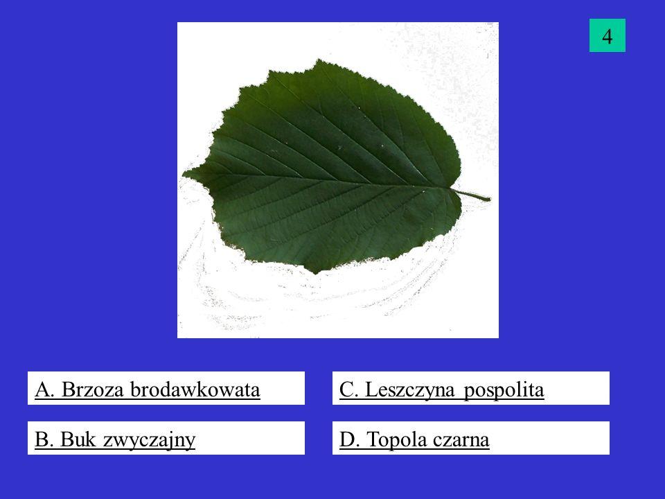 4 A. Brzoza brodawkowata C. Leszczyna pospolita B. Buk zwyczajny D. Topola czarna