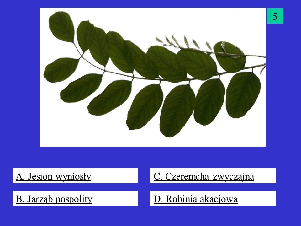 5 A. Jesion wyniosły C. Czeremcha zwyczajna B. Jarząb pospolity D. Robinia akacjowa