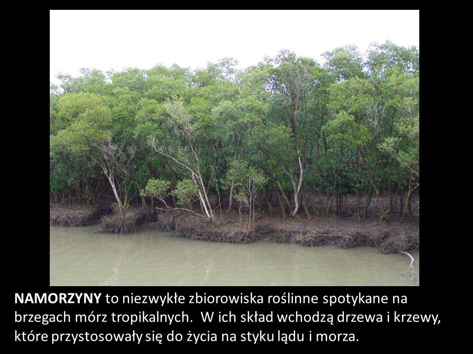 NAMORZYNY to niezwykłe zbiorowiska roślinne spotykane na brzegach mórz tropikalnych.