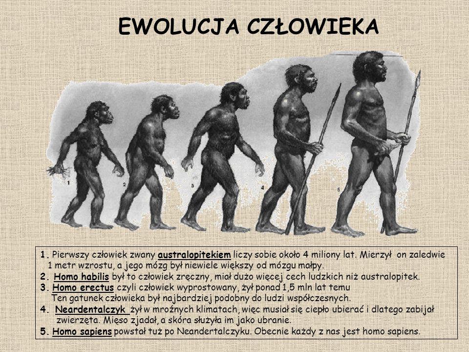 EWOLUCJA CZŁOWIEKA 1. Pierwszy człowiek zwany australopitekiem liczy sobie około 4 miliony lat. Mierzył on zaledwie.