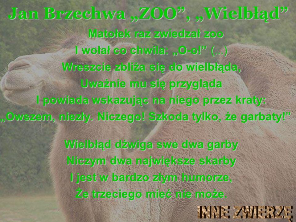 """Wielbłąd Jan Brzechwa """"ZOO , """"Wielbłąd Matołek raz zwiedzał zoo"""