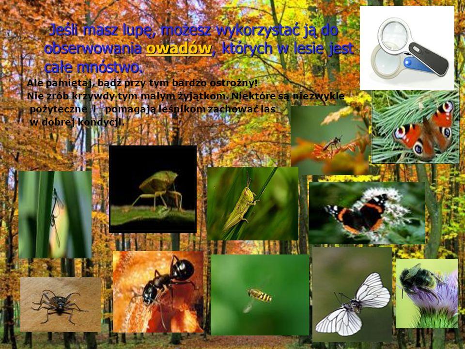 Jeśli masz lupę, możesz wykorzystać ją do obserwowania owadów, których w lesie jest całe mnóstwo.