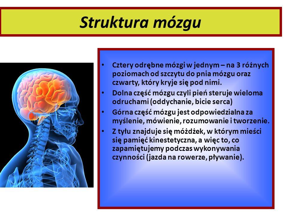 Struktura mózgu Cztery odrębne mózgi w jednym – na 3 różnych poziomach od szczytu do pnia mózgu oraz czwarty, który kryje się pod nimi.
