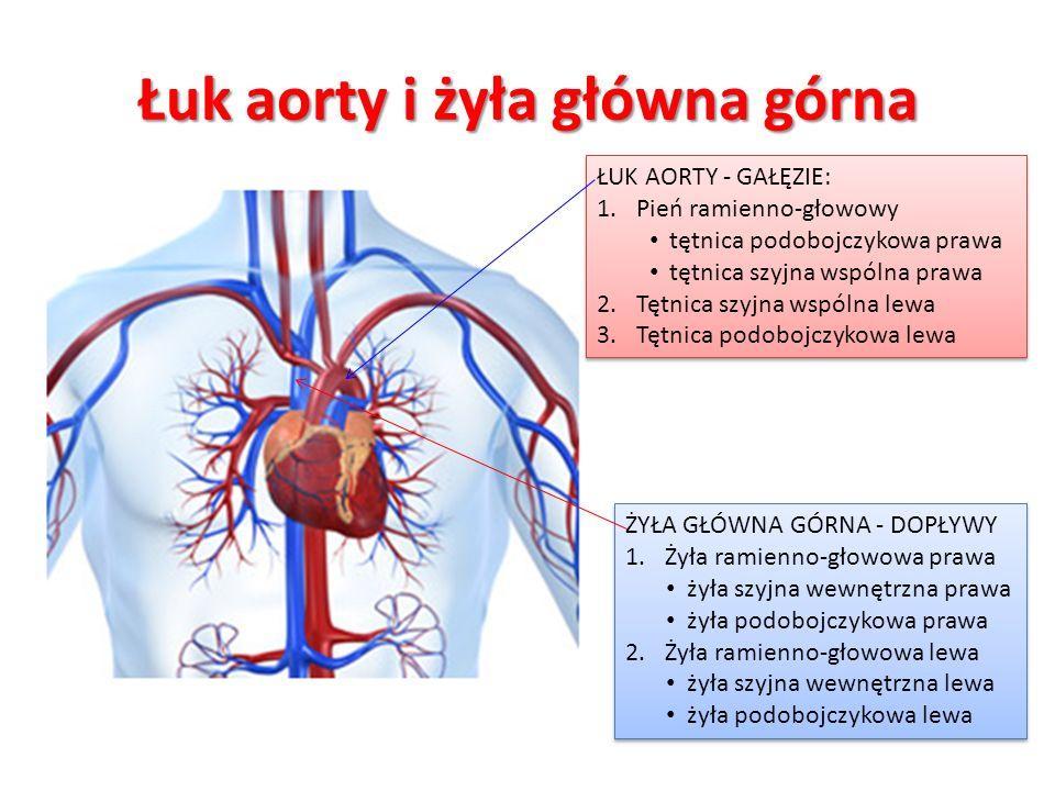 Łuk aorty i żyła główna górna