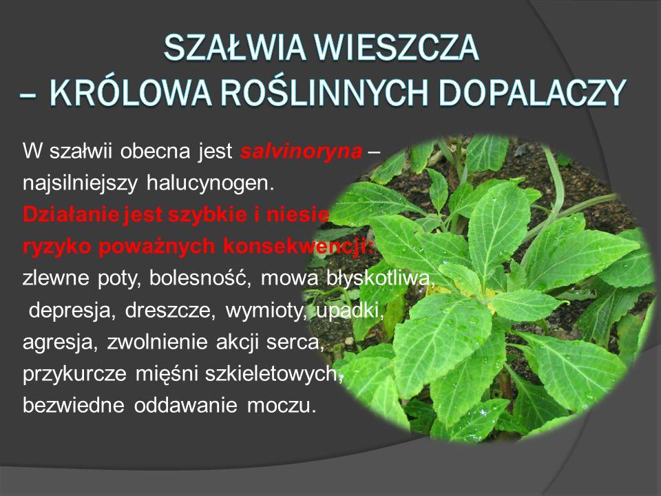 Szałwia wieszcza – królowa roślinnych dopalaczy