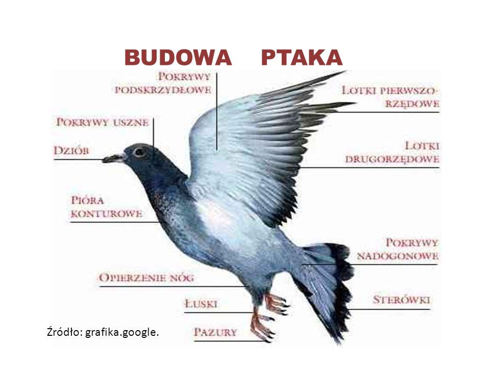 BUDOWA PTAKA Źródło: grafika.google.