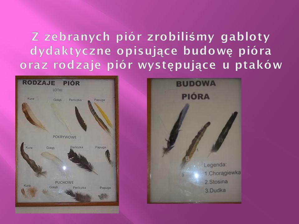 Z zebranych piór zrobiliśmy gabloty dydaktyczne opisujące budowę pióra oraz rodzaje piór występujące u ptaków
