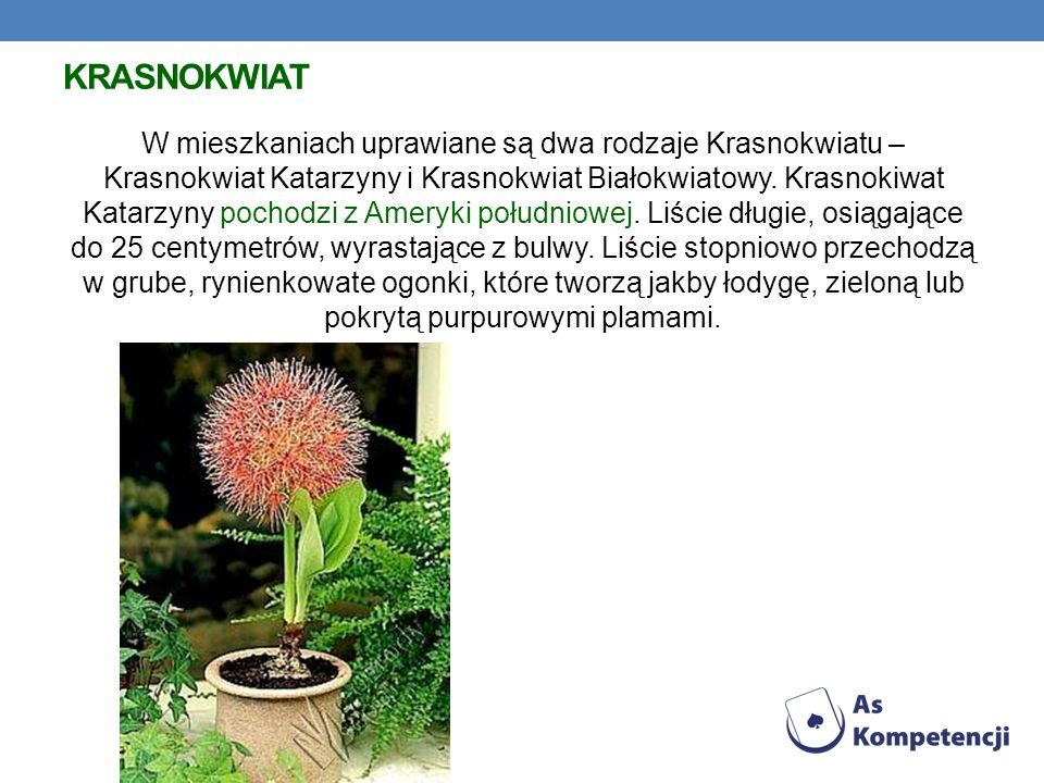 Krasnokwiat