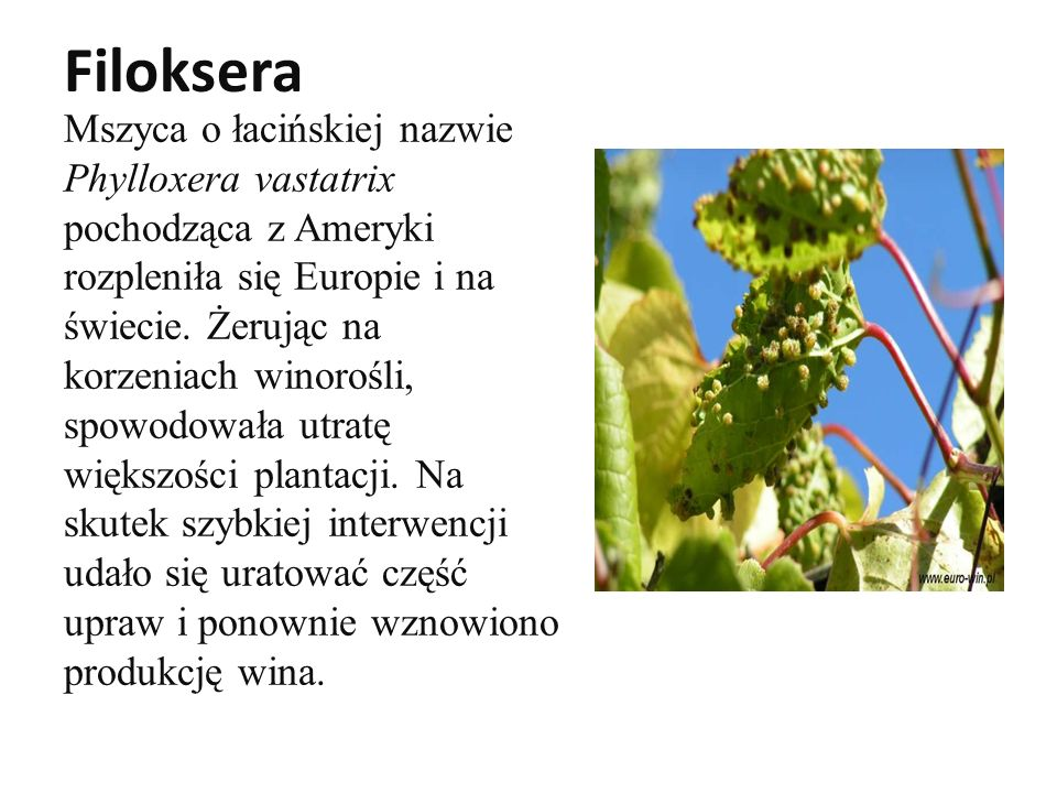 Filoksera