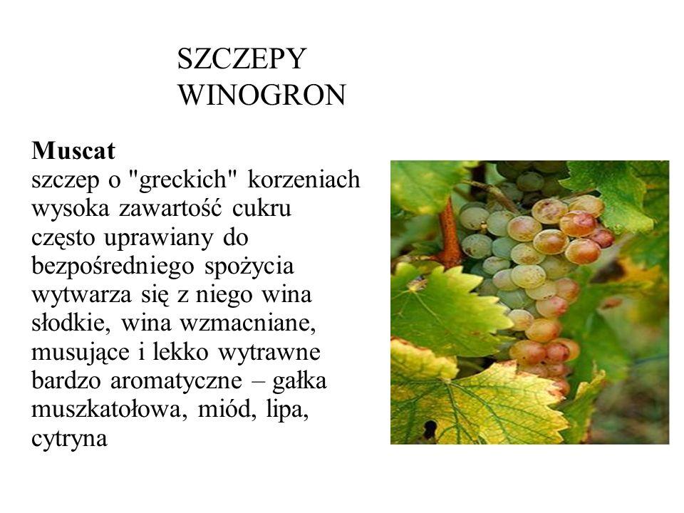 SZCZEPY WINOGRON Muscat szczep o greckich korzeniach