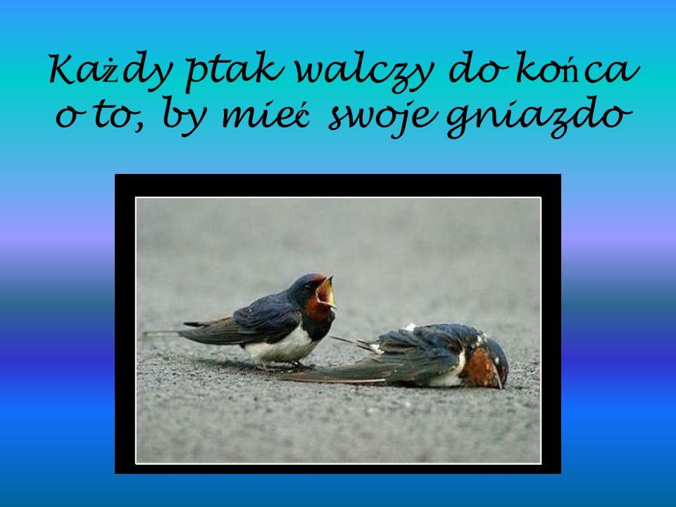Każdy ptak walczy do końca o to, by mieć swoje gniazdo