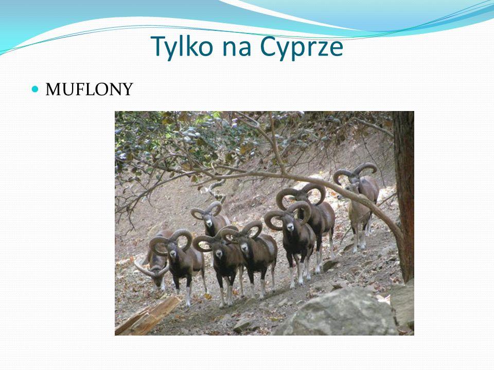 Tylko na Cyprze MUFLONY