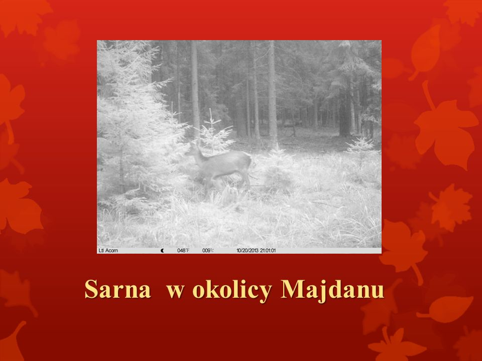 Sarna w okolicy Majdanu