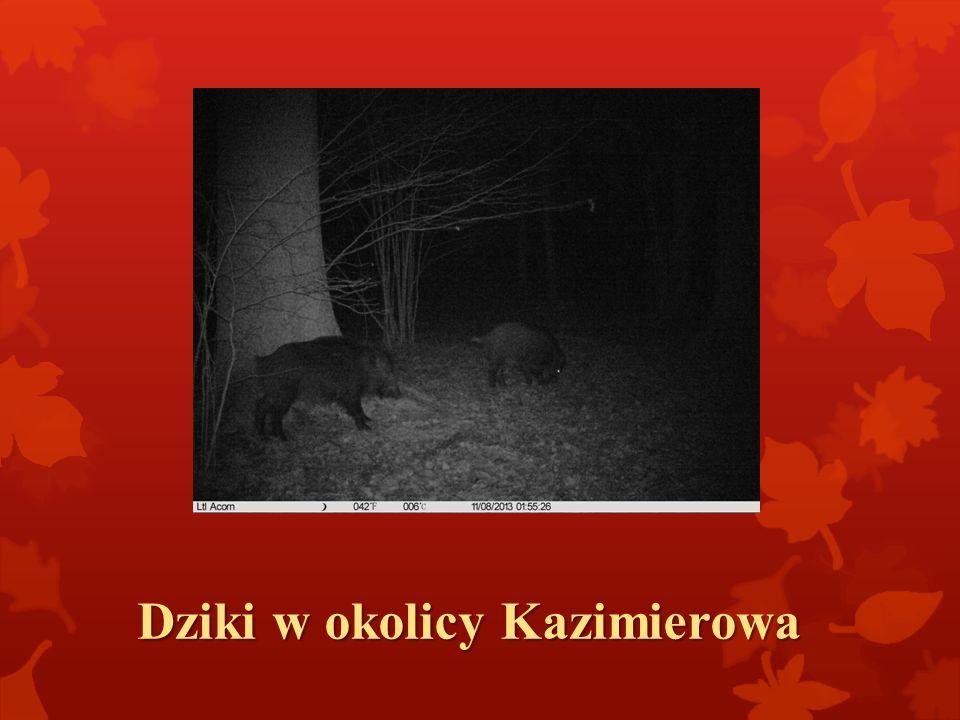 Dziki w okolicy Kazimierowa