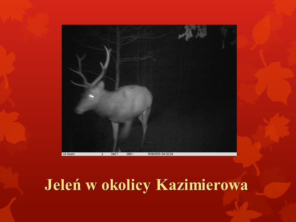 Jeleń w okolicy Kazimierowa
