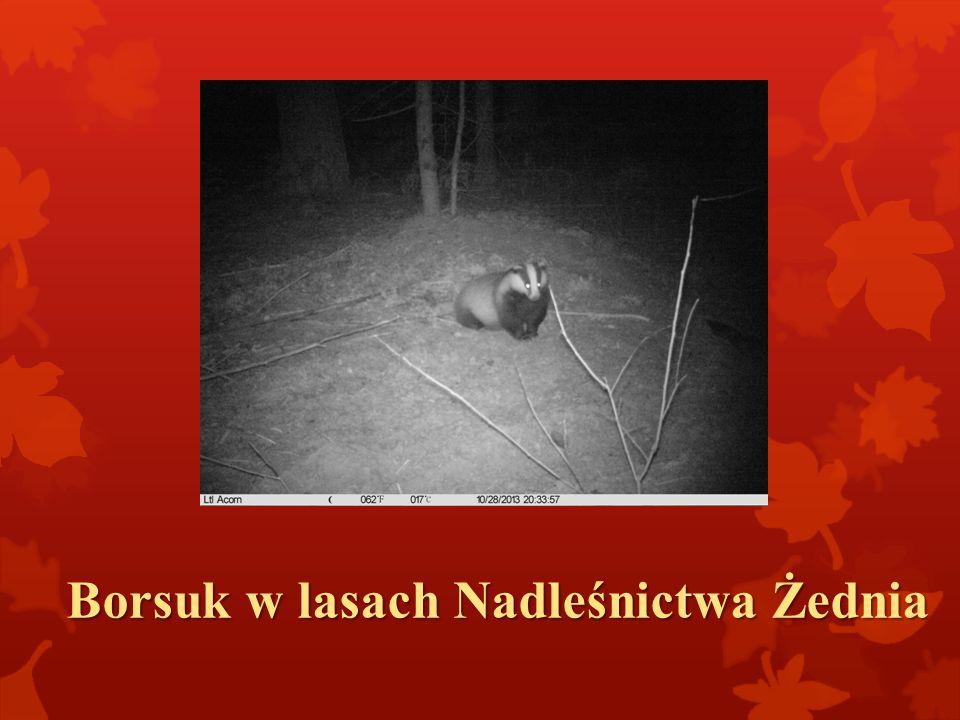 Borsuk w lasach Nadleśnictwa Żednia
