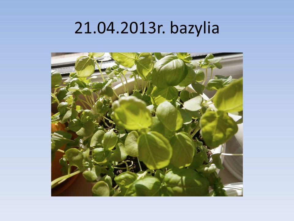 21.04.2013r. bazylia