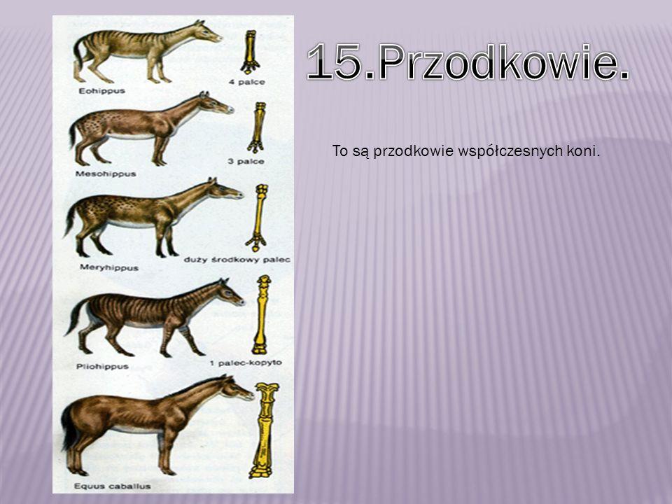 15.Przodkowie. To są przodkowie współczesnych koni.