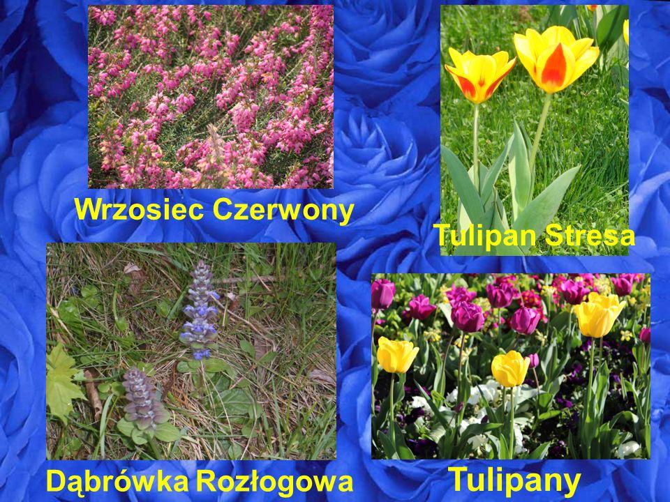 Wrzosiec Czerwony Tulipan Stresa Tulipany Dąbrówka Rozłogowa
