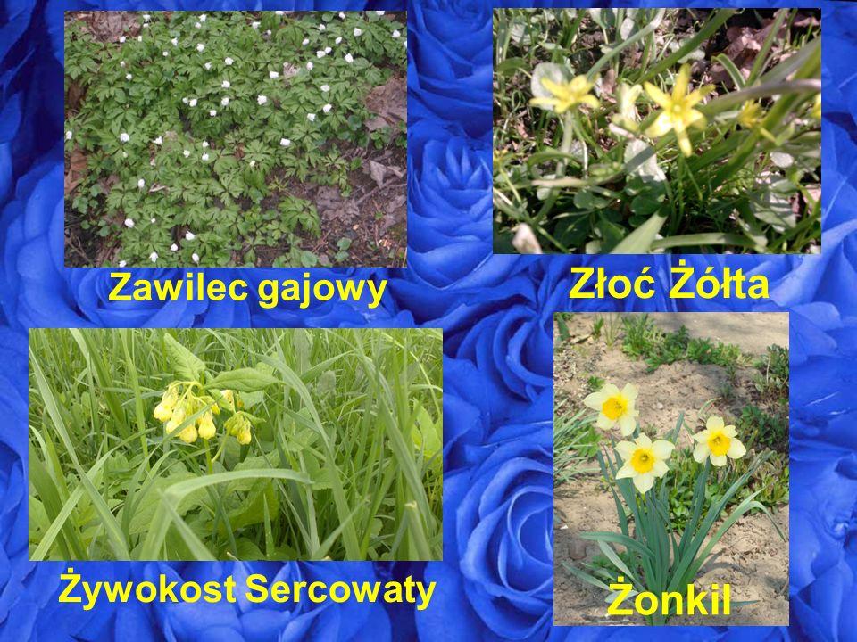 Złoć Żółta Zawilec gajowy Żywokost Sercowaty Żonkil