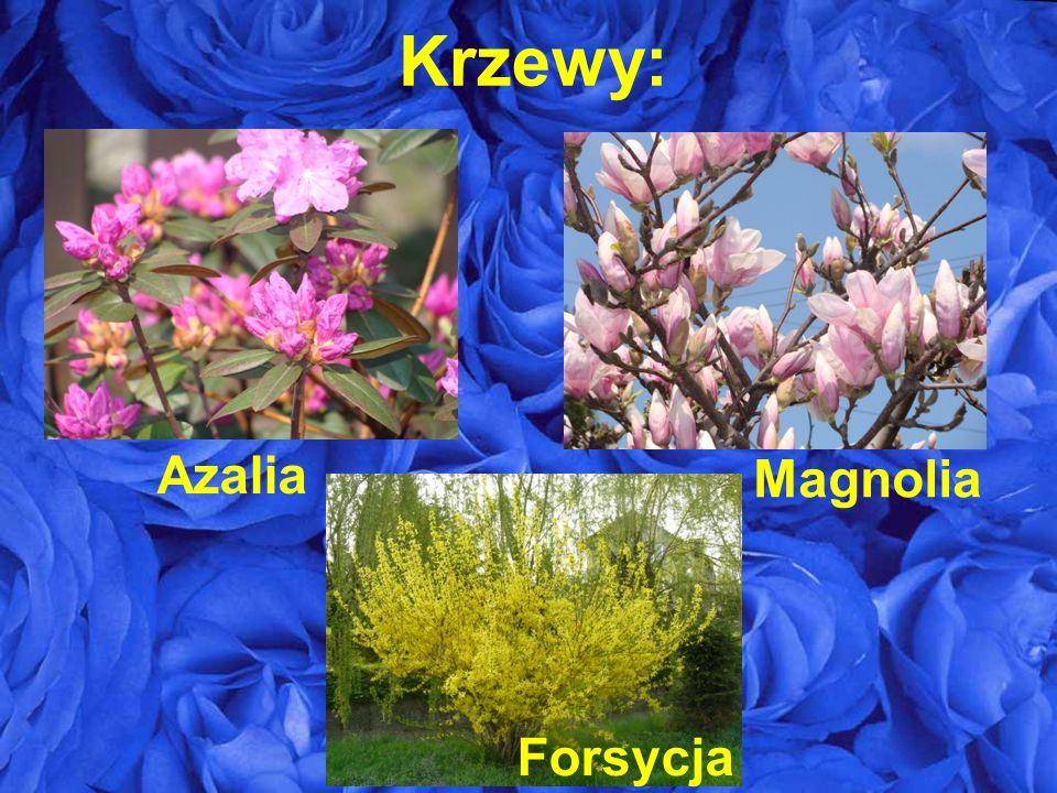 Krzewy: Azalia Magnolia Forsycja