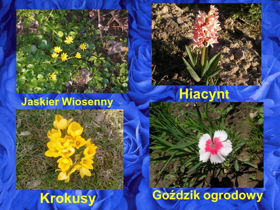 Hiacynt Jaskier Wiosenny Goździk ogrodowy Krokusy