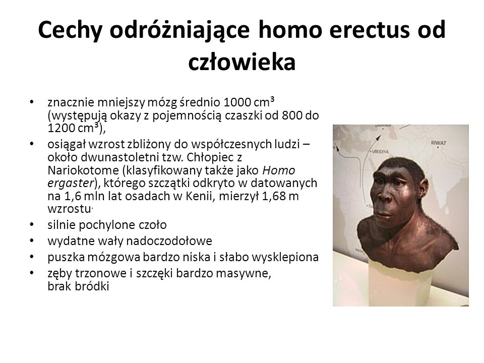 Cechy odróżniające homo erectus od człowieka